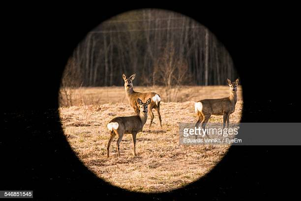 Three Deer On Field Seen Through Rifle Sight In Forest