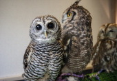 Three different species of owls sit on display at Torino Iru Cafe on February 23 2014 in Tokyo Japan Located in Kiba Tokyo Torino Iru is a cafe where...