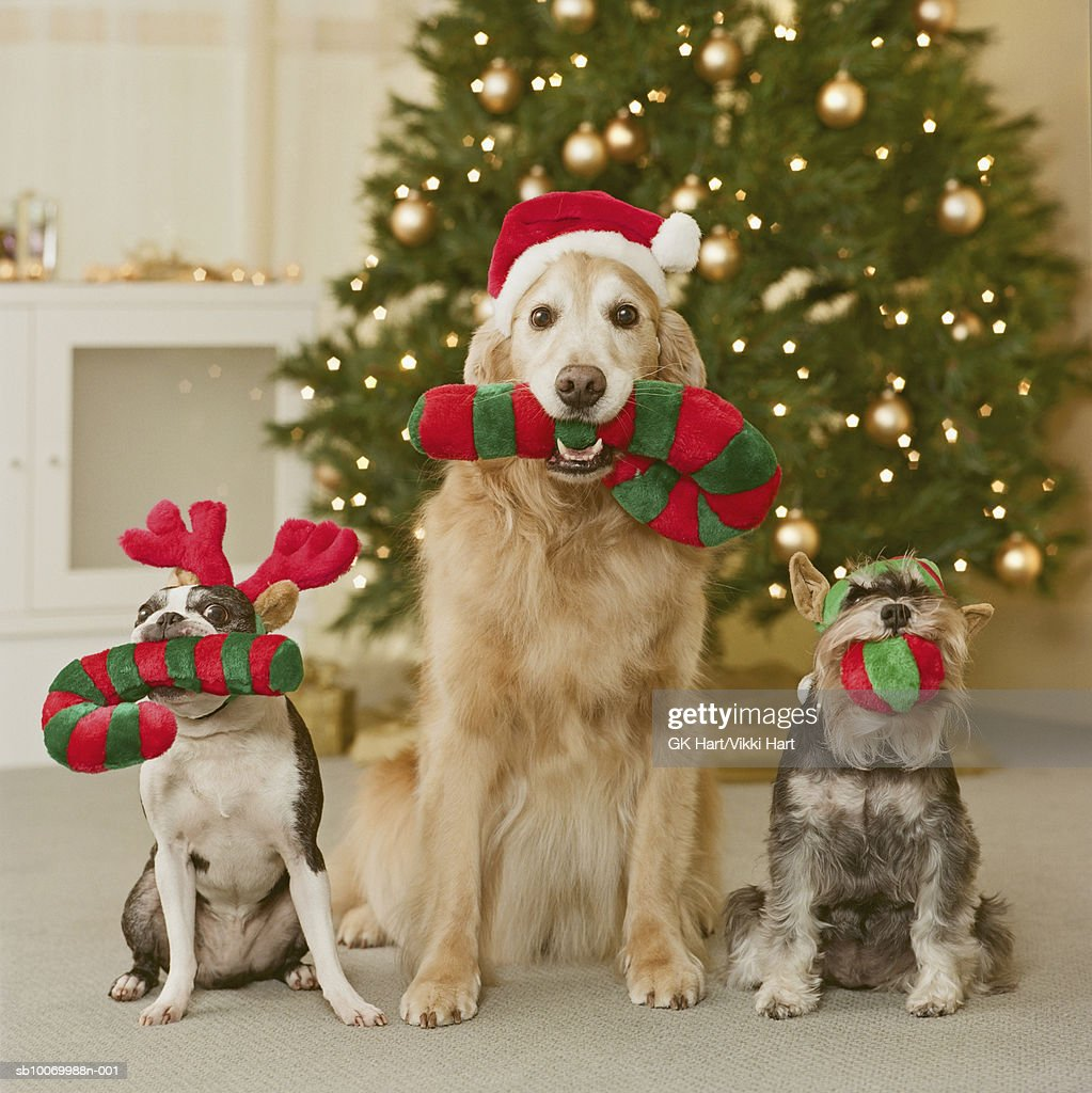 Three dog holding candy cane in mouth, close-up : Stock Photo