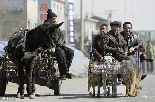 Three dogs are harnessed to a wheeled sledge with Cui Changfa and two visitors on board as a donkeydrawn cart overtakes at Helong Township on March...