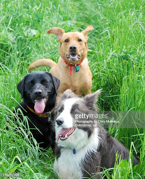 Three dogs in the long grass