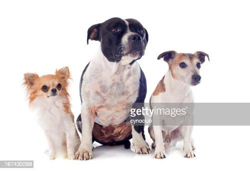 Três Cães : Foto de stock