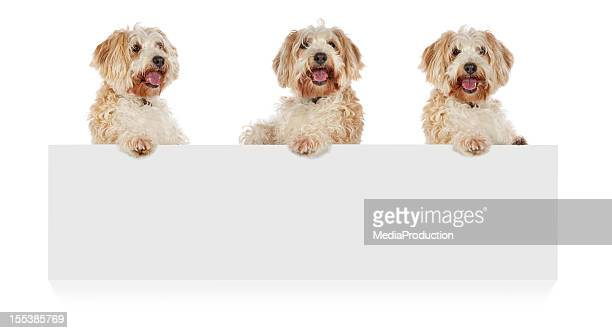 Three dogs standing up behind a white cardboard