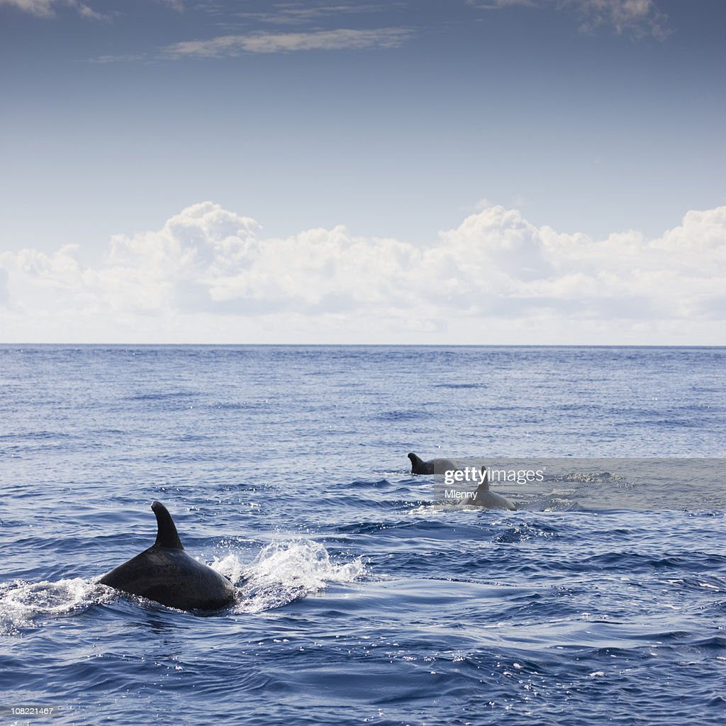 Dolphins Atlantic Ocean : Stock Photo