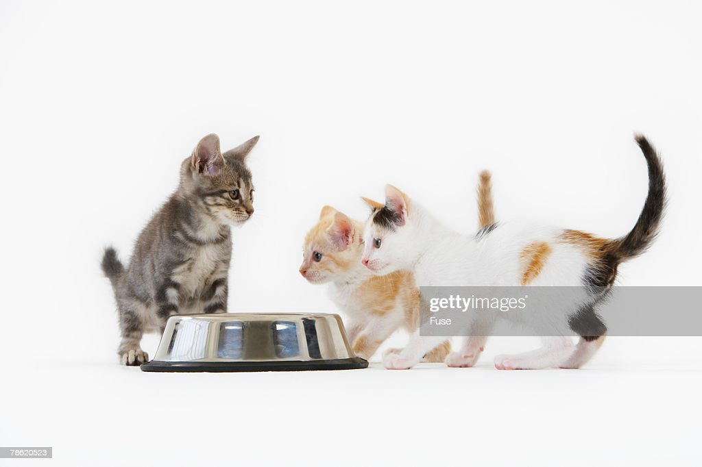 Three Domestic Kittens Sharing Food : Stock Photo