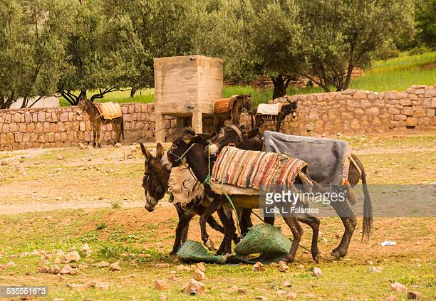 Three donkeys fighting