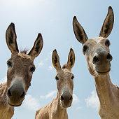 Three donkeys looking at the camera
