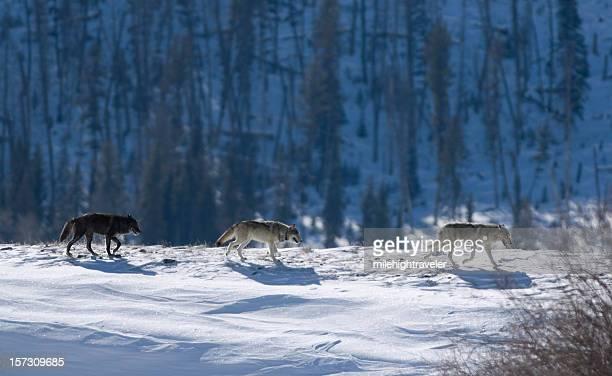 Três Druid madeira wolves na neve em Yellowstone