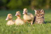 Three ducklings and kitten on grass