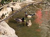 Wood duck and male and female mallard ducks in the pond in Central Park, New York City.