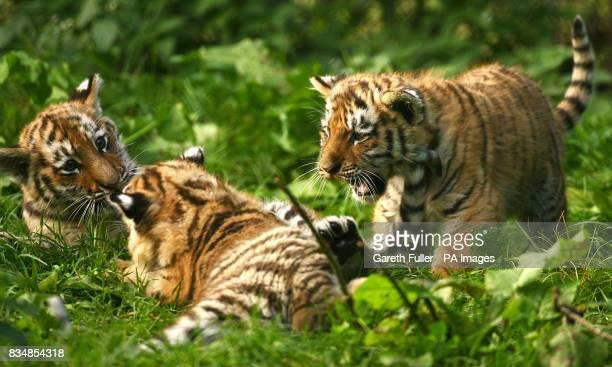 Three eleven week old Siberian Tiger cubs Sayan Altai and Altay at Howletts Wild Animal Park in Bekesbourne Kent