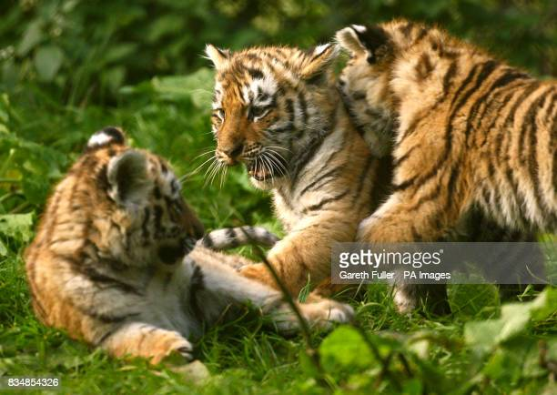 Three eleven week old Siberian Tiger cubs Sayan Altai and Altay play at Howletts Wild Animal Park in Bekesbourne Kent