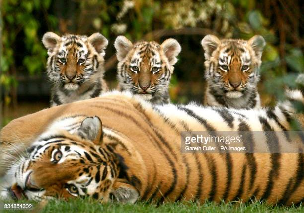 Three eleven week old Siberian Tiger cubs Sayan Altai and Altay with mum Nika at Howletts Wild Animal Park in Bekesbourne Kent