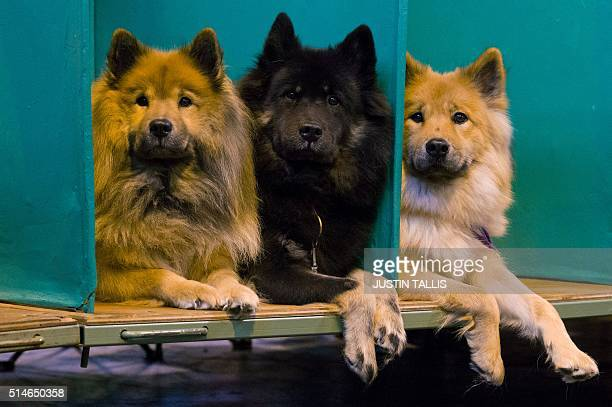 Three Eurasian dogs sit in their stalls on the first day of the Crufts dog show at the National Exhibition Centre in Birmingham central England on...