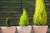 Three evergreens on pots
