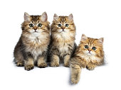 Three fluffy golden British Longhair cat isolated on white background