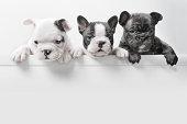 Three French bulldog puppies peer over a wall
