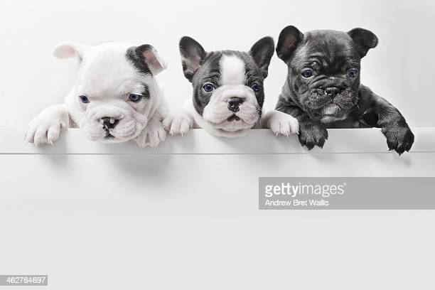 Three French bulldog puppies peer over a wall