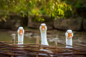 Funny image with three domestic geese behind a wattled fence, looking in the same direction.
