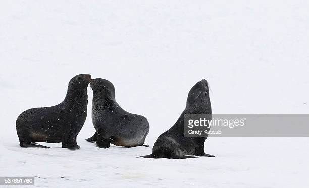 Three Fur Seals on South Georgia Island