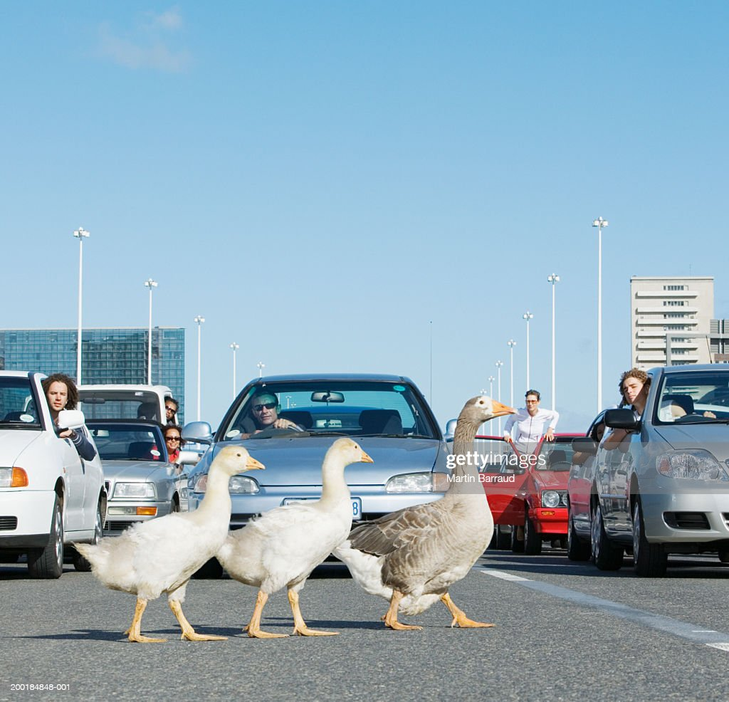 Three geese crossing road in front of traffic jam : Stock Photo