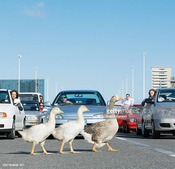 Three geese crossing road in front of traffic jam