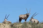 Three gemsbok standing on dune in the Kalahari desert Kgalagadi Transfrontier Park South Africa