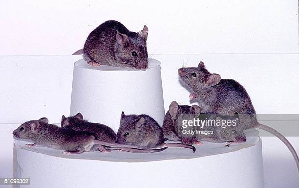 Three Generations Of Cloned Mice The Second Level Combines Both The Second And Third Generations Demonstrating The Magnitude Of The Process A Result...