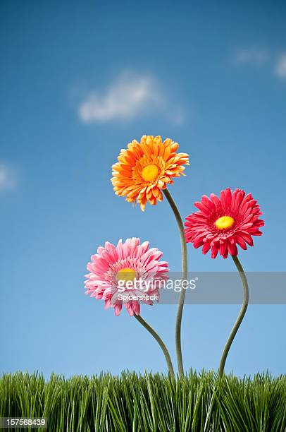 Three Gerbera Daisies Growing In The Grass