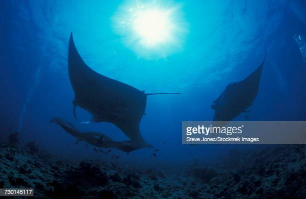 Three giant oceanic manta rays in the South Ari Atoll, Maldives