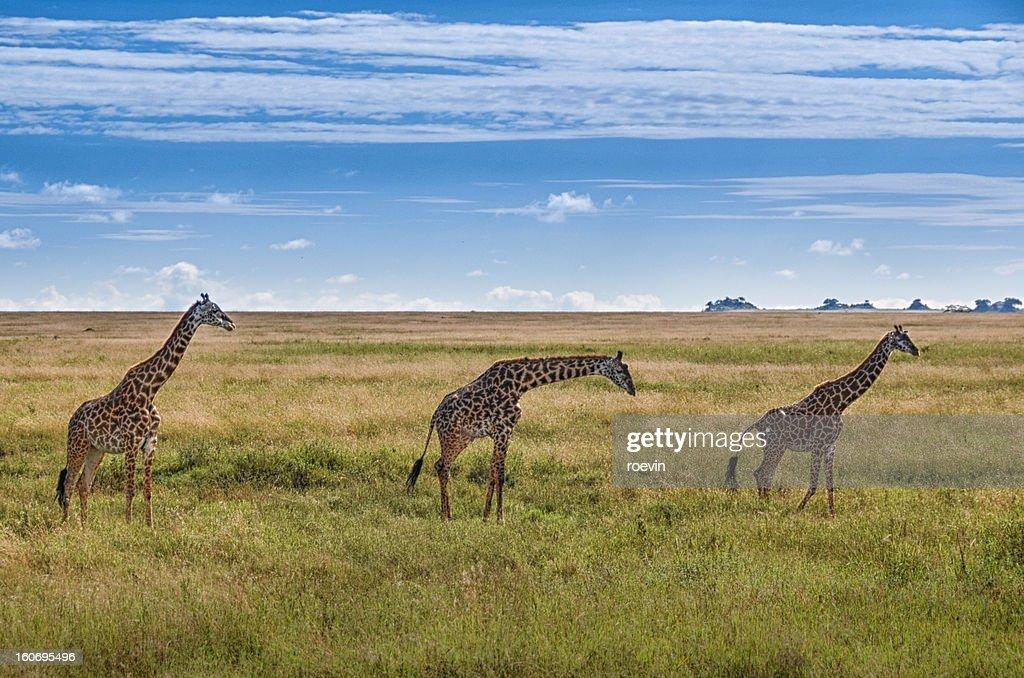 Three Giraffes : Stock Photo