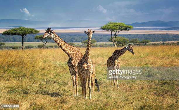 Three Giraffes (Giraffe camelopardalis tippleskirchi)