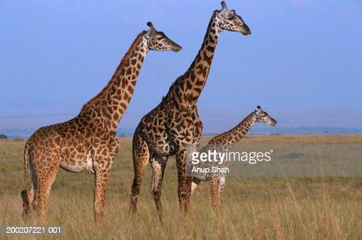 Three Giraffes (Giraffe camelopardalis tippleskirchi) standing in grassland, Masai Mara N.R, Kenya : Stock Photo