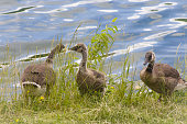 Three Goslings eating grass by the water