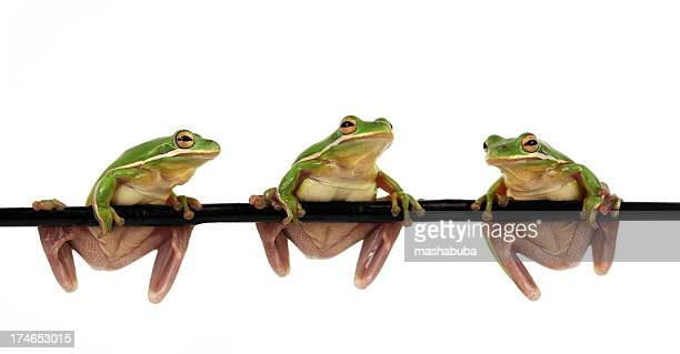Three green frogs hanging on a branch isolated on white