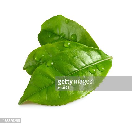 Three green leaves with water droplets