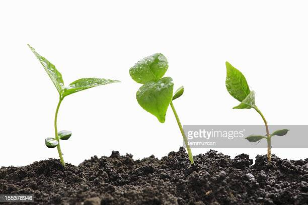 Three green plant sprouts coming out of dirt against white.
