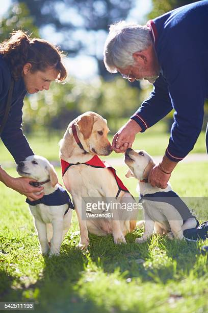 Three guide dogs at dog training