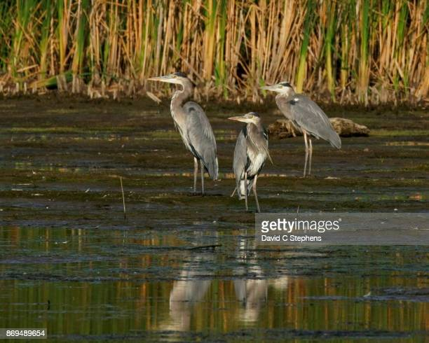 Three herons stand on shore