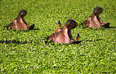 Three Hippo in Water Lettuce