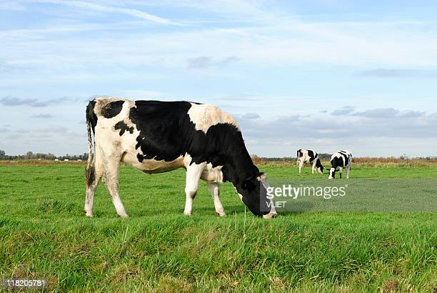 Three Holstein cows grazing in a green meadow
