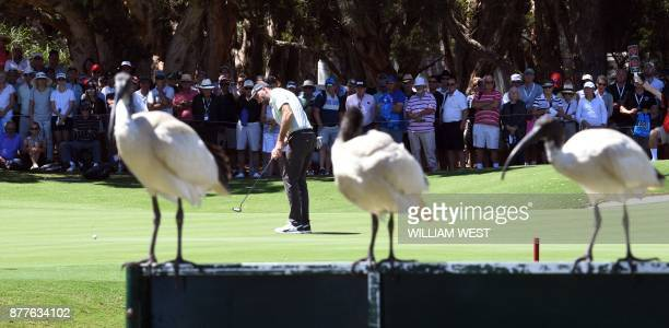 Three Ibis birds look on as Geoff Ogilvy of Australia putts during the first round of the Australian Open at the Australian Golf Club course in...
