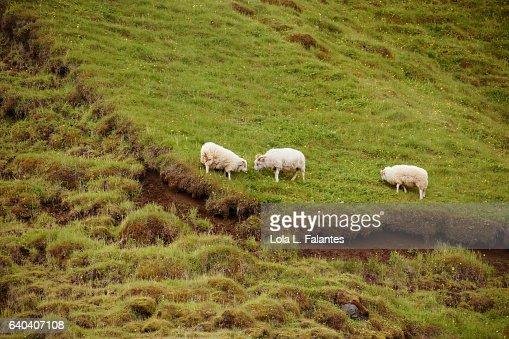 Three icelandic sheeps : Foto de stock