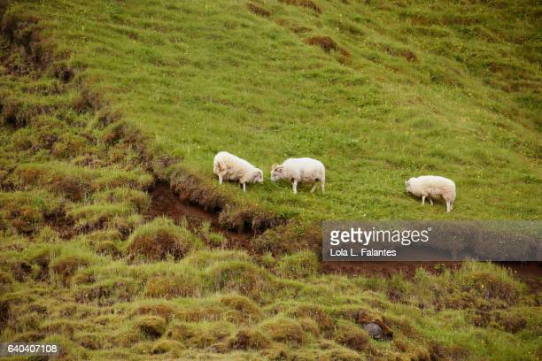 Three icelandic sheeps
