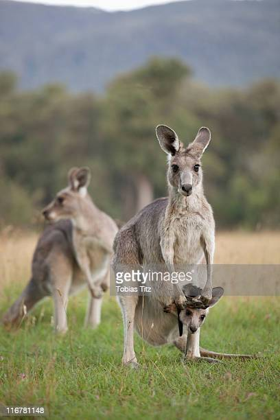 Three Kangaroos in a field