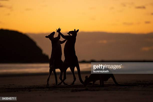 Three kangaroos on beach