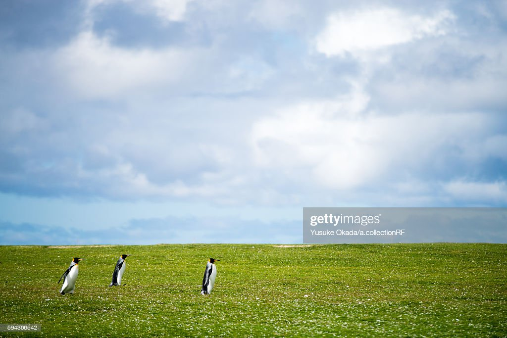 Three King Penguins in Field
