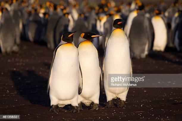 Three King Penguins.