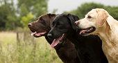 three lovely Labradors, head shot