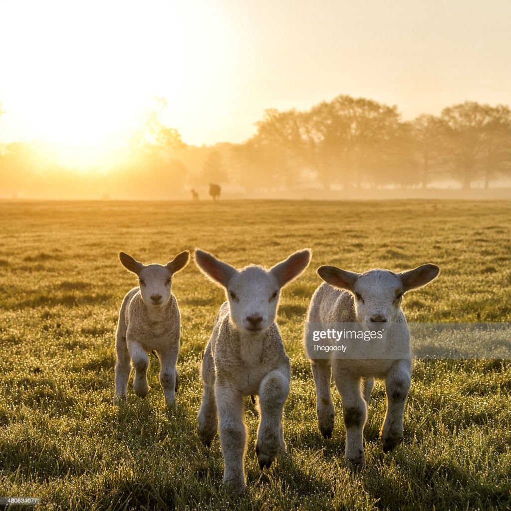 Trio of lambs on meadow at morning sun